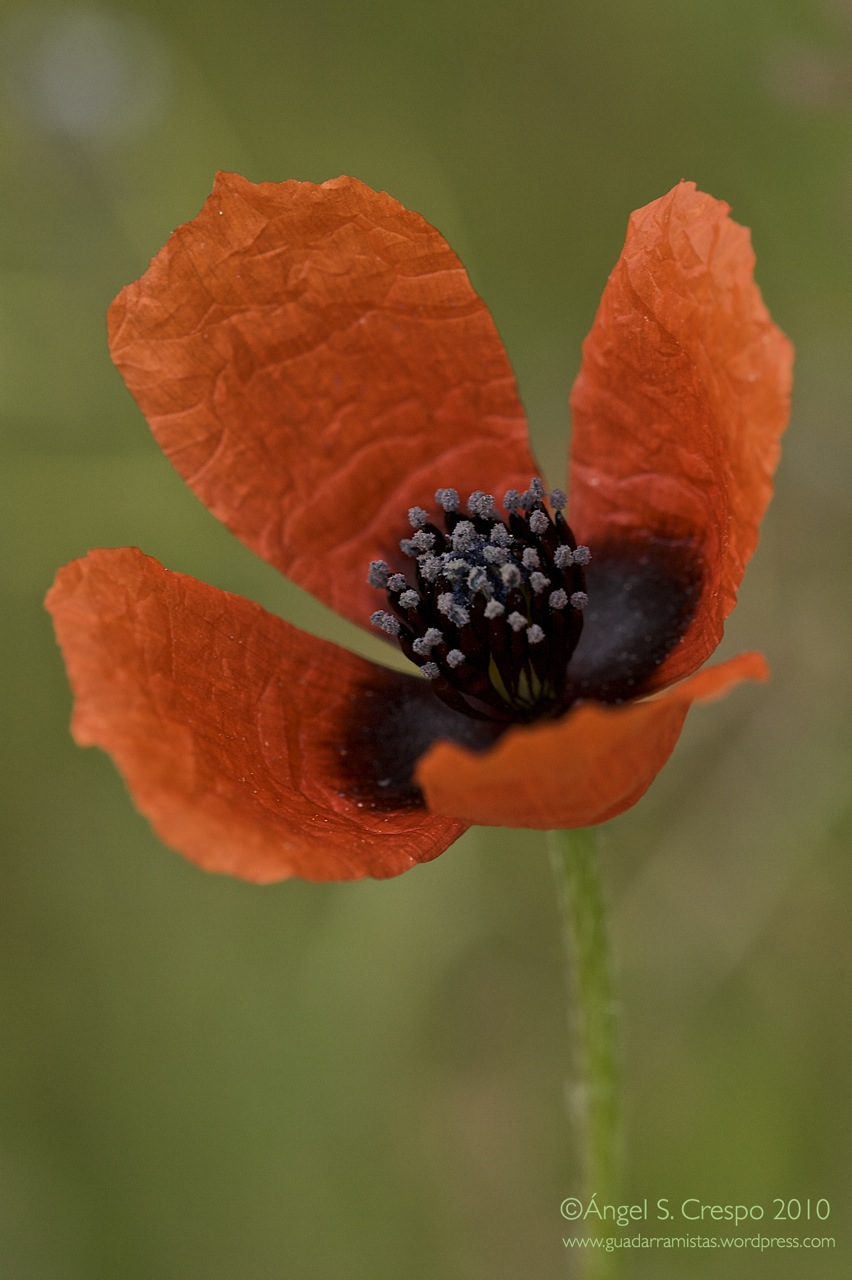 Papaver sp (Amapola)