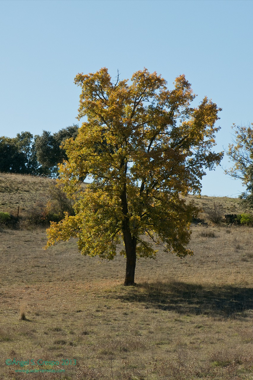 quercus faginea Quercus faginea. Quejigo, roble carrasqueño