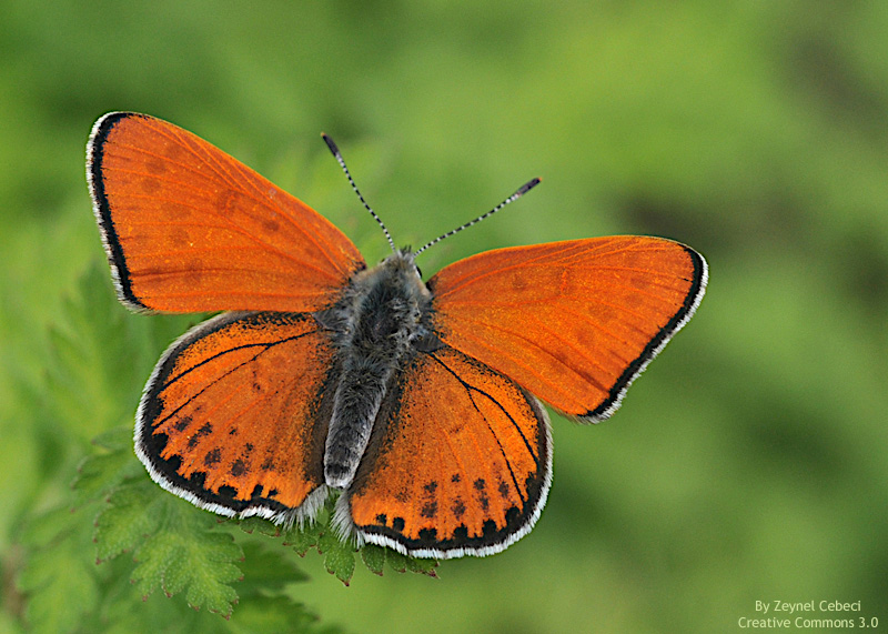 Lycaena thersamon manto de Esper copia Lycaena thersamon, manto de Esper