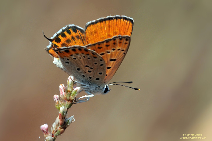 Lycaenia thersamon Lycaena thersamon, manto de Esper