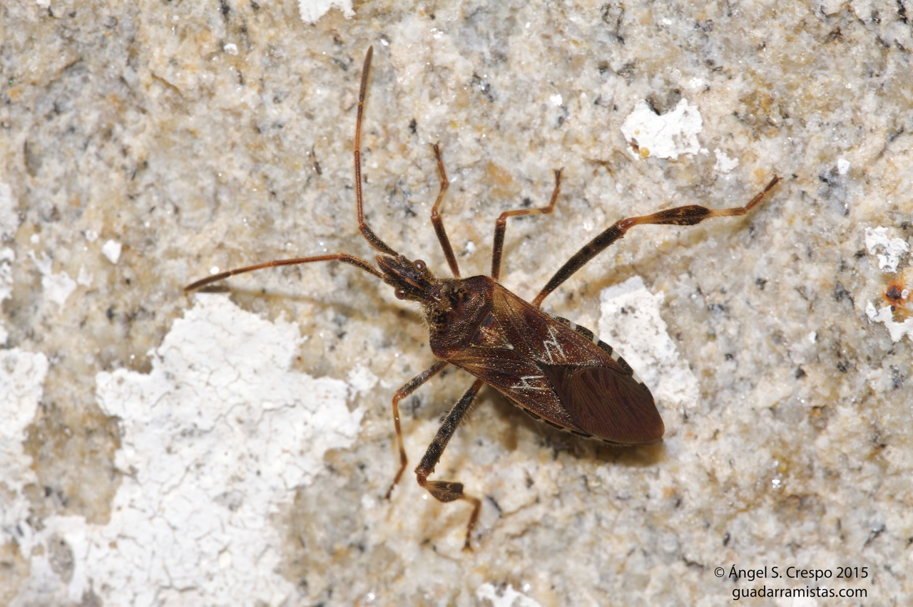 Leptoglossus occidentalis Leptoglossus occidentalis, chinche americana del pino